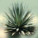 sm_Agave_2 - genintgtatrees.txd