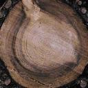 TREE_STUB1 - GTA_brokentrees.txd