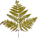 veg_bush2 - gta_proc_ferns.txd