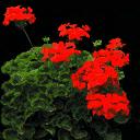 starflower3 - vegstadplants.txd