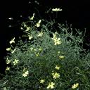 starflower4 - vegstadplants.txd