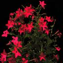 starflower2 - vgsebushes.txd